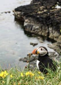 Puffins on St Kilda